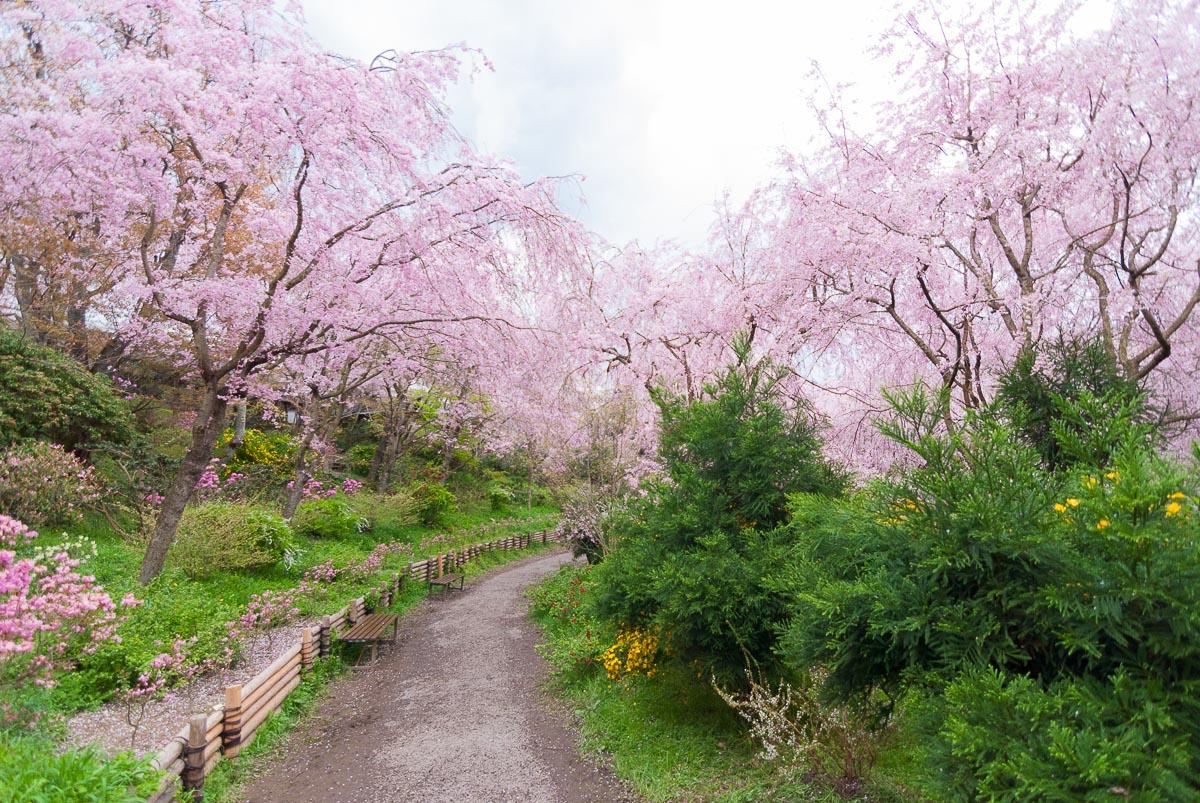 Haradani-en (Kyōto) - floraison du sakura durant le hanami