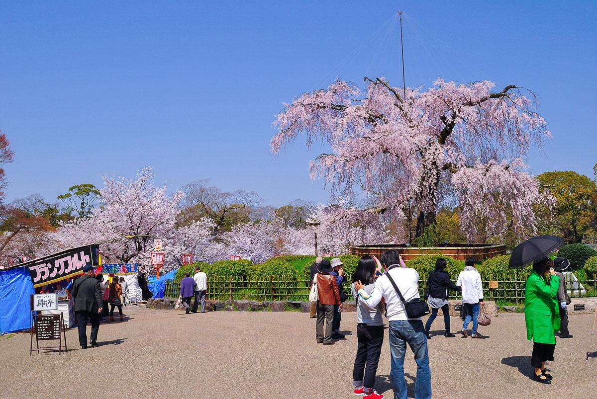 Floraison du sakura durant le hanami au parc Maruyama-Kōen (Kyōto)