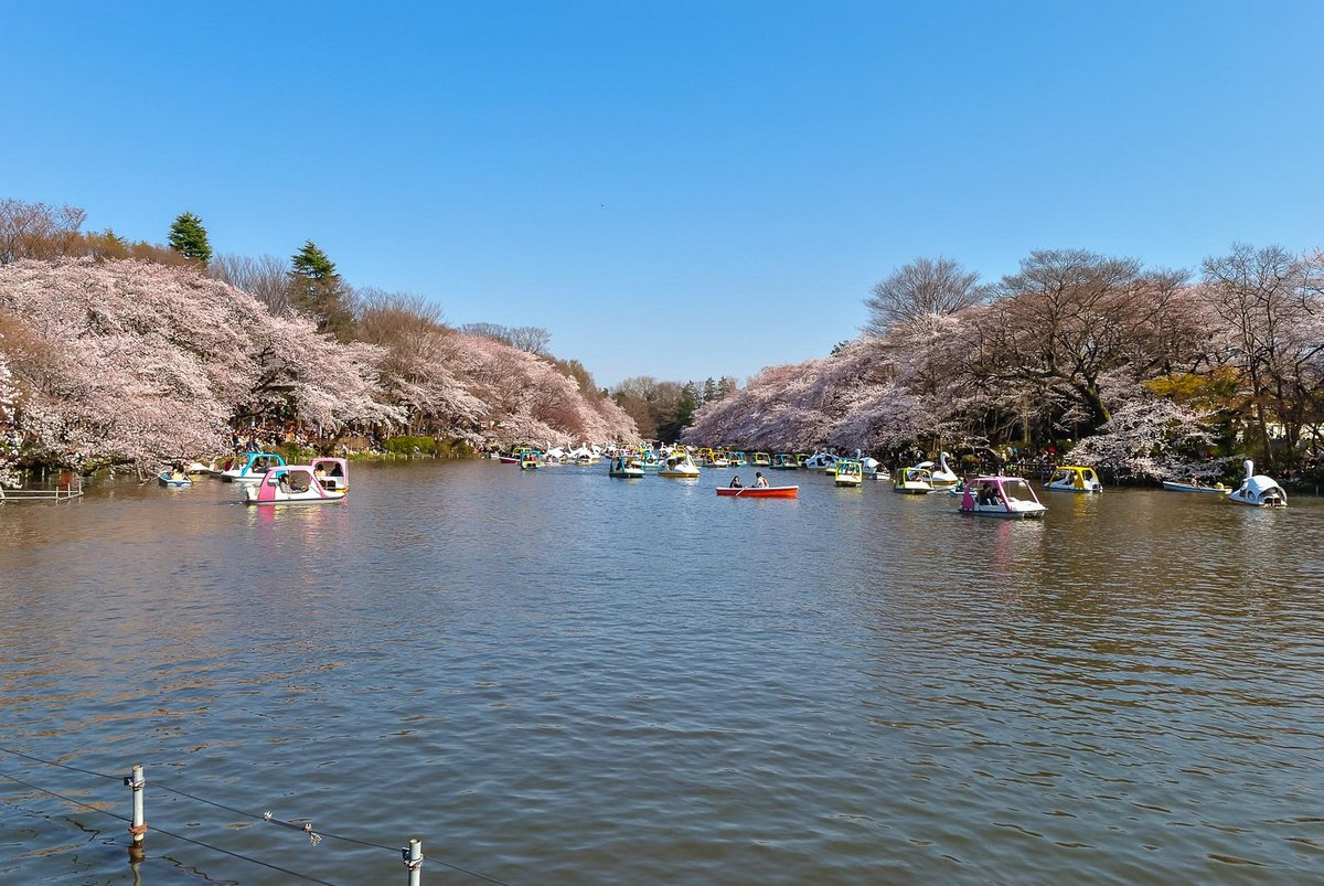 Floraison du sakura durant le hanami au parc Inokashira Onshi Kōen